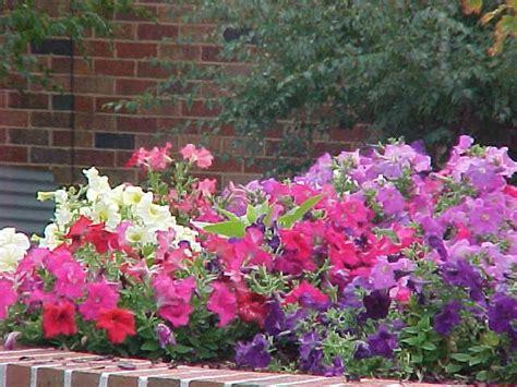 growing petunias in pots petunias hello hello plants garden supplies