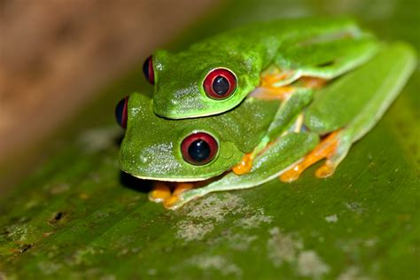 tree frogs file red eyed tree frog agalychnis callidryas 2 jpg