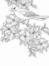 Coloring Cardinal Bird Pages Flower State Printable Dogwood Northern Virginia Flowers Orioles Birds Baseball Drawing Bluebonnet Cardinals Carolina Symbols Adult sketch template