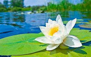 Water Lily  The National Flower Of Bangladesh