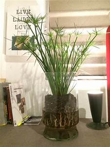 papyrus plant in glass vase plant in glass plants