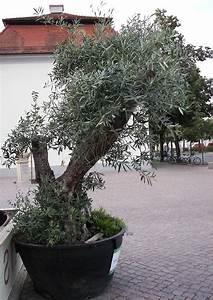Olivenbaum Im Wohnzimmer überwintern : olivenb ume im garten und freiland berwintern 06 olivenbaum an der pizzaria ~ Markanthonyermac.com Haus und Dekorationen