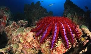Condiment Kills Crown-of-thorns Starfish