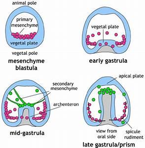 Echinoderms - Gastrulation
