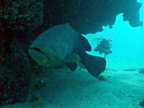 grouper jewfish goliath fish pacific species