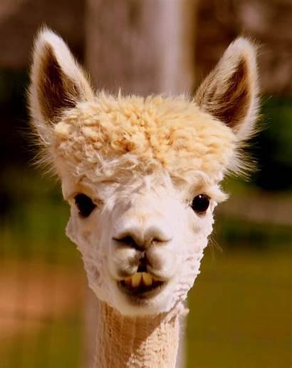 Retirement Alpaca Alpacas Llama Farm Adorable Chronicles