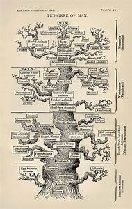 A Guide  Haeckel U0026 39 S Pedigree Of Man