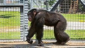 World's largest chimpanzee research facility to release ...