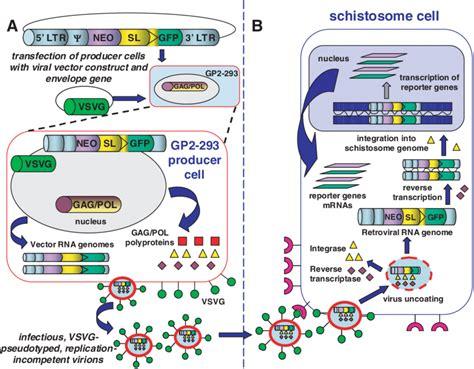 Schematic representation of transduction of a schistosome ...