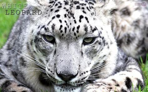 leopard wallpapers animal spot