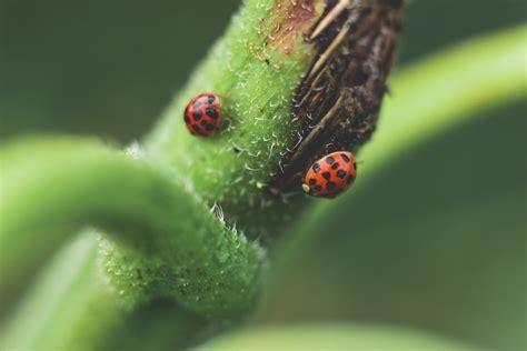 micro photography   red  black ladybugs