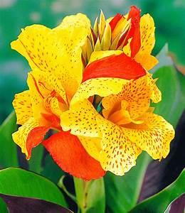 Canna Blüten Abschneiden : canna 39 cleopatra 39 blumenrohr canna bei baldur garten ~ Lizthompson.info Haus und Dekorationen