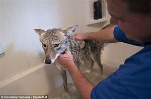 The eight-year-old Wisconsin girl who has a pet coyote ...