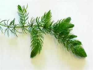 Ceratophyllum Demersum  Rigid Hornwort   Coontail