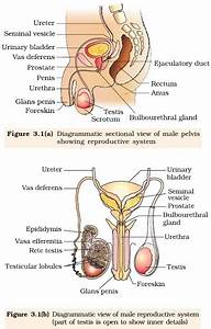 Ncert Class Xii Biology Chapter 3   Human Reproduction