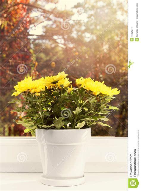davanzale finestra vaso da fiori con il crisantemo giallo sul davanzale della