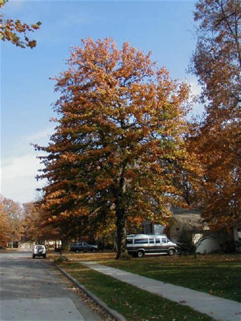 blackjack oak