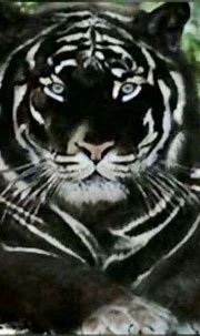That's an interestingly colored tiger. It's like the ...