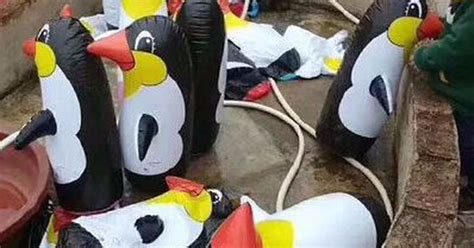 penguin chinese zoo exhibit inflatable penguins ones enough thought fill its china anith
