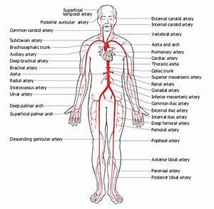 Verwante Zoekopdrachten Voor Label Worksheet Arteries And V