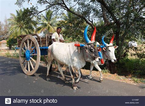 indian cart ox cart oxen with colourful horns tamil nadu tamilnadu