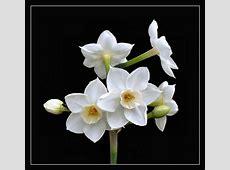 Daffodils March birth flower Tattoos Pinterest