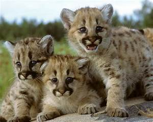 Cougar Cubs On A Rock Photograph by Larry Allan