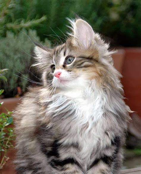 How Much Does A Norwegian Forest Kitten Cost?  Annie Many