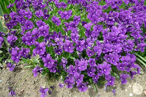 purple flower vine plants purple leaf plants car interior design