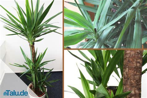 yucca palme ableger palmlilie yucca elephantipes pflege im zimmer talu de