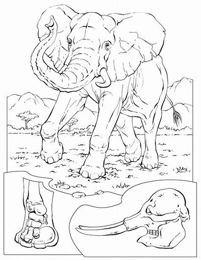 Coloring Pages Elephant Animals Animal Sheets Printable