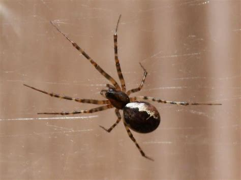 Brown Spider with White Stripes