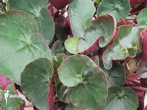 begonia plant types araflora exotic flora more begonia species red and green