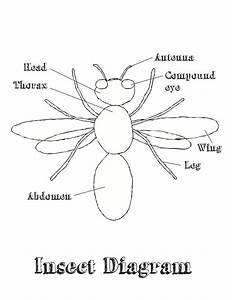 Insect Diagram For Kids