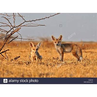 India Gujarat state Little Rann of Kutch Wild Ass