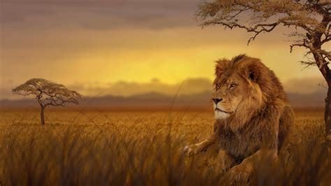 lion forest  lion wallpapers hd wallpapers forest