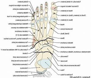Foot Anatomy Bones