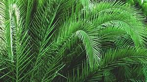 Mimosa Résistant Au Froid : r ussir le palmier des canaries en pleine terre palmiers et compagnie ~ Melissatoandfro.com Idées de Décoration