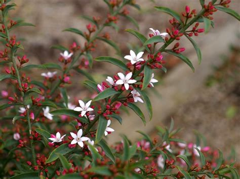 flower shrubs australian native shrubs gardening with angus