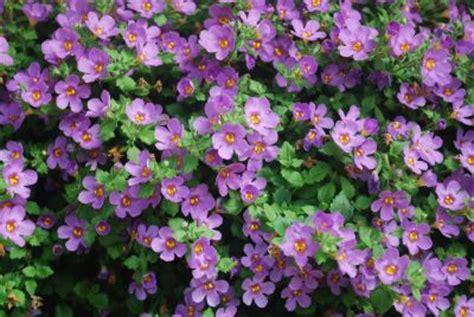 purple bacopa springtrials org california spring trials