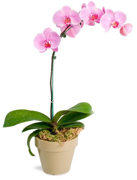 orchids care tips for orchid care how survived the orchid longer fresh design pedia