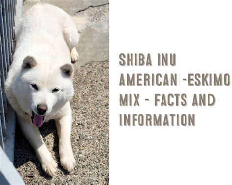 American Eskimo Shedding Problem by Shiba Inu American Eskimo Mix Information And Facts