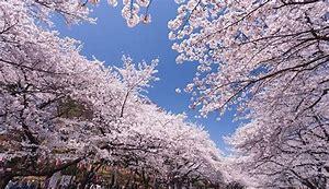 上野 桜 に対する画像結果
