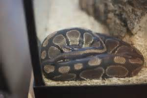 my pet python ball python care snake facts more