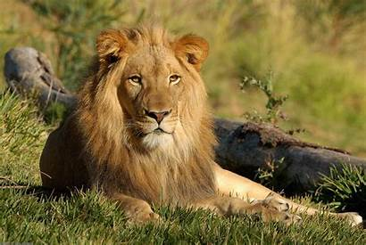 Lion Animal National Liberia Wallpapers9