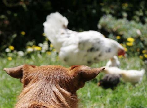 empecher un chien de monter sur le canapé comment empêcher un chien d 39 attaquer les poules
