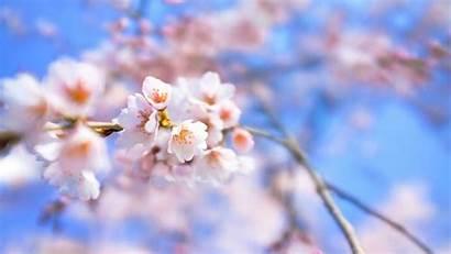 Blossom Cherry Wallpapers Flowers Desktop Backgrounds Branch