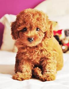 teddy bear puppy | Teddy bear puppies, Bear puppy and ...