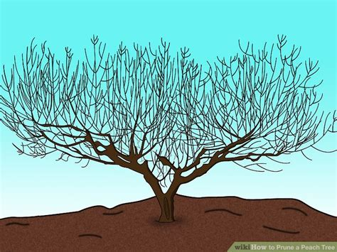 3 ways to prune a peach tree wikihow