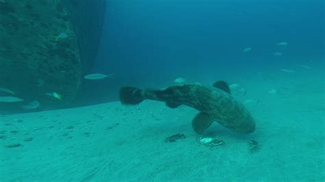 goliath grouper diet spearboard spearfishing crabs research menu edited last